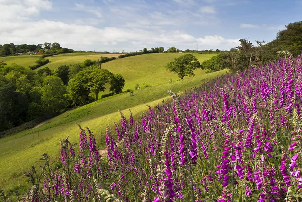 lost-gardens-of-heligan-cornwall-falmouth-garden-breaks-foxgloves