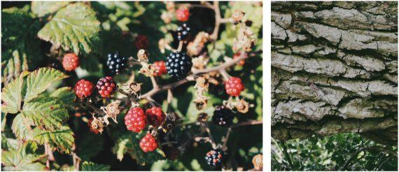 the-lizard-walks-frenchmans-creek-cornwall-helford-river-walk-blackberries