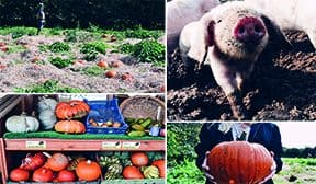 Trevaskis-Farm-Pumpkin-Picking-Greenbank-Hotel