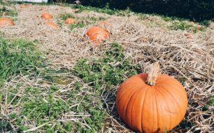 trevaskis-farm-pumpkin-greenbank-hotel