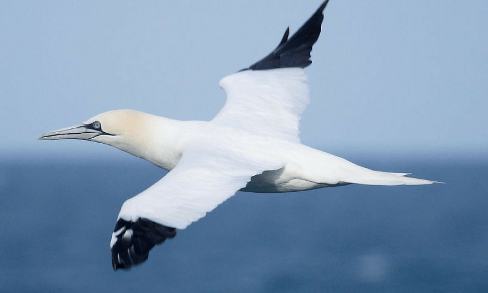 cornish-wildlife-gannet-cornwall-sealife-seabirds