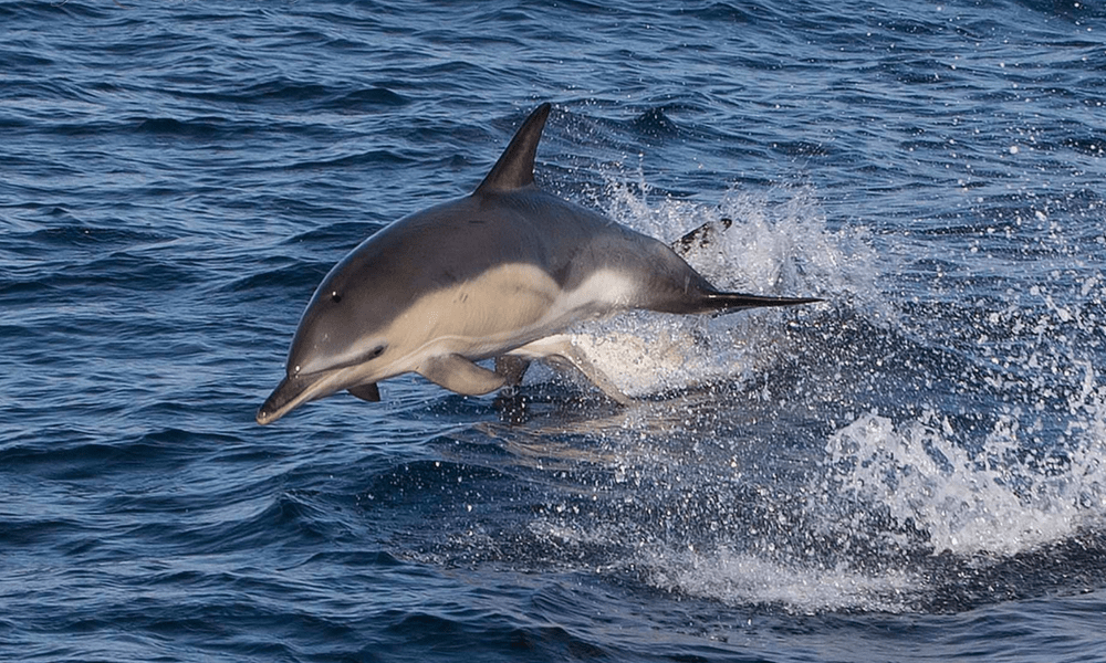 wildlife-watching-dolphins-swimming-cornwall-wildlife-sealife