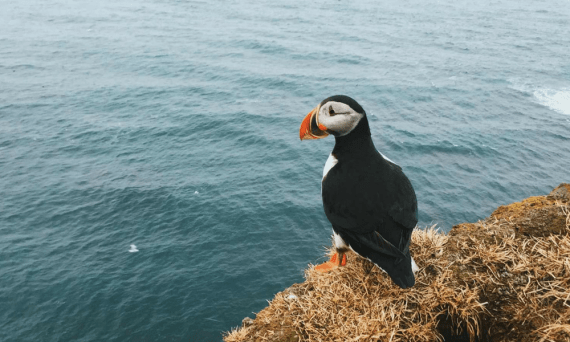 cornwall-sealife-wildlife-puffin-cornwall-cornish-seas