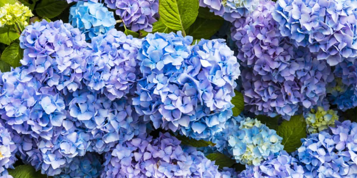 hydrangea-walk-and-talk-trebah-gardens-falmouth-things-to-do-in-september-2019