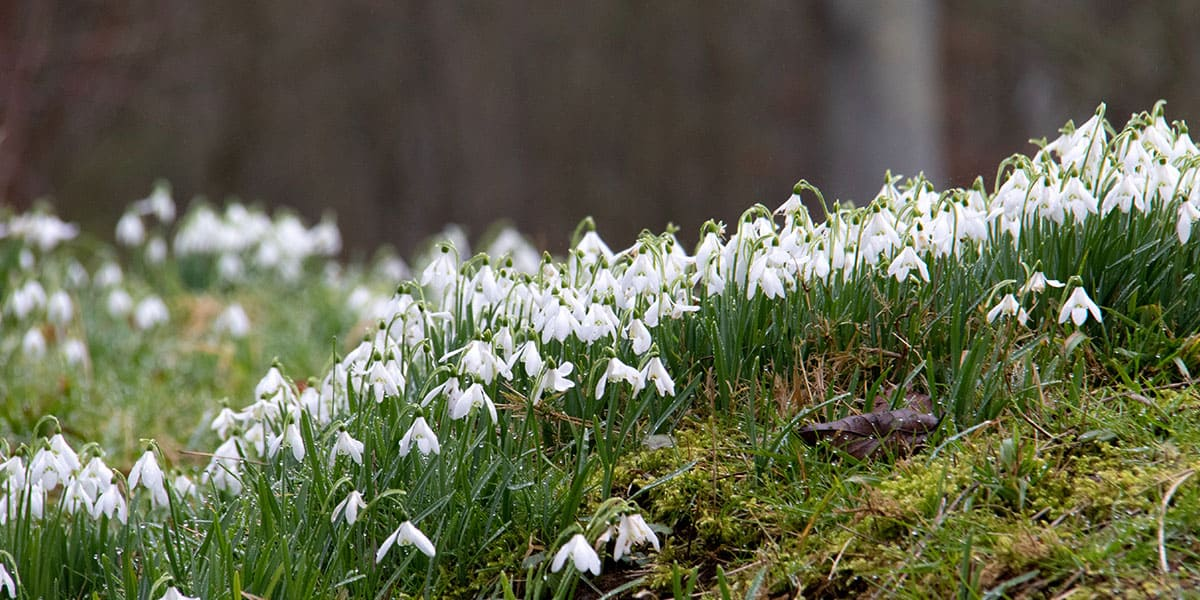pencarrow-house-and-gardens-snowdrops-things-to-do-in-cornwall-in-february-2020