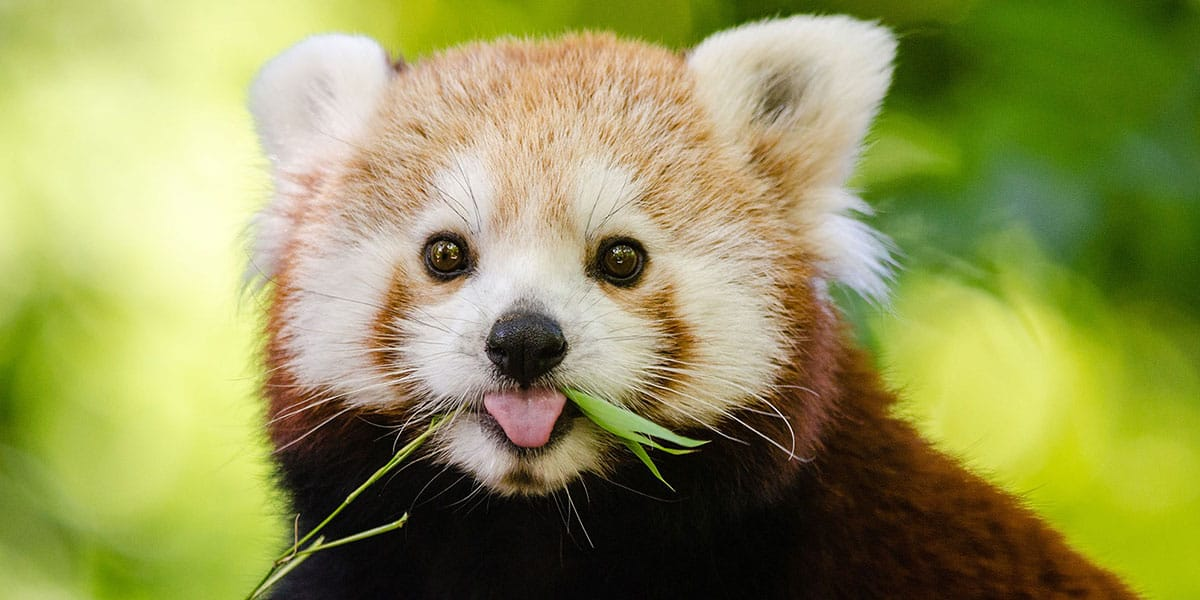 things-to-do-in-cornwall-september-red-pandas-paradise-park-hayle-the-greenbank-hotel-falmouth