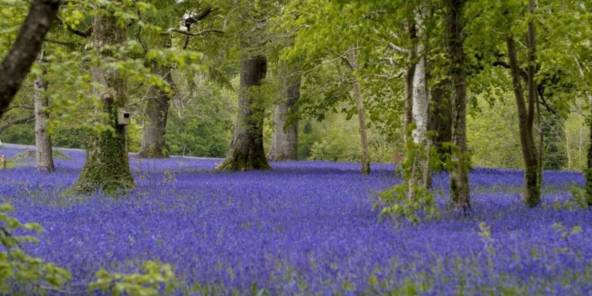 whats-on-in-cornwall-this-may-2021-enys-gardens-bluebell-festival